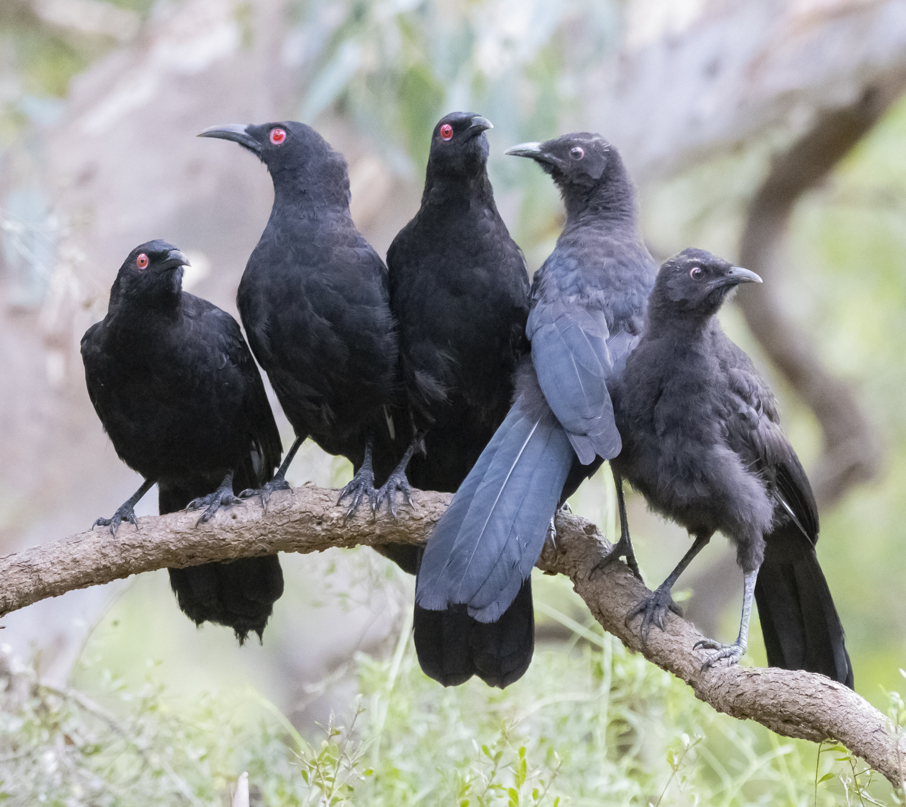 White-winged Chough (Image ID 46306)
