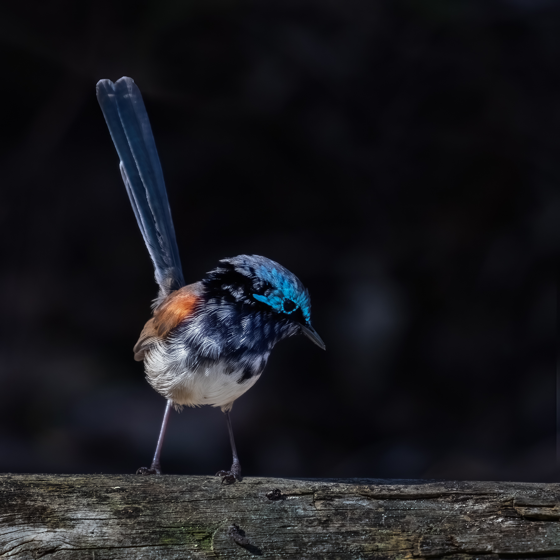 Red-winged Fairy-wren (Image ID 45950)