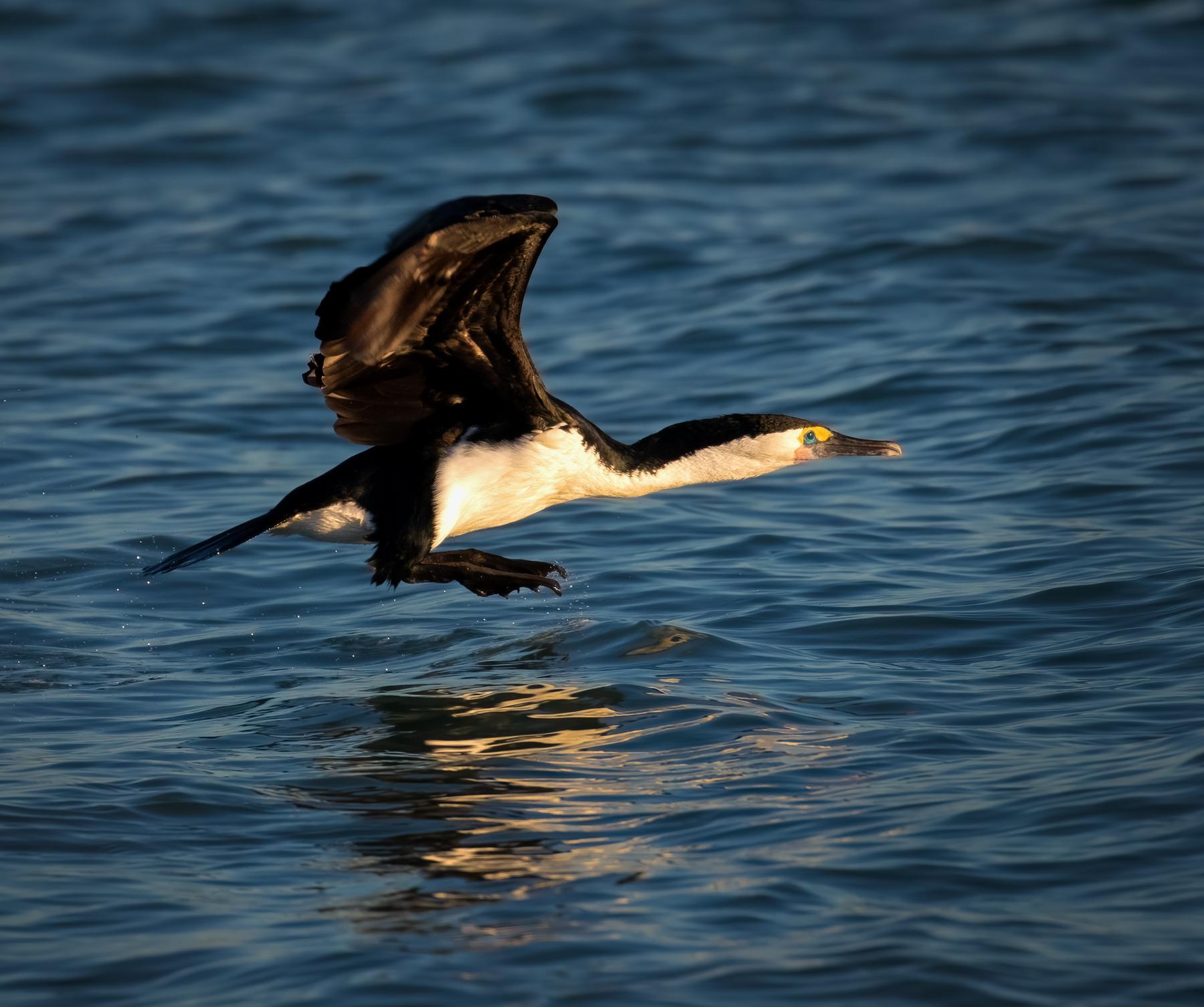 Great Pied Cormorant (Image ID 45973)