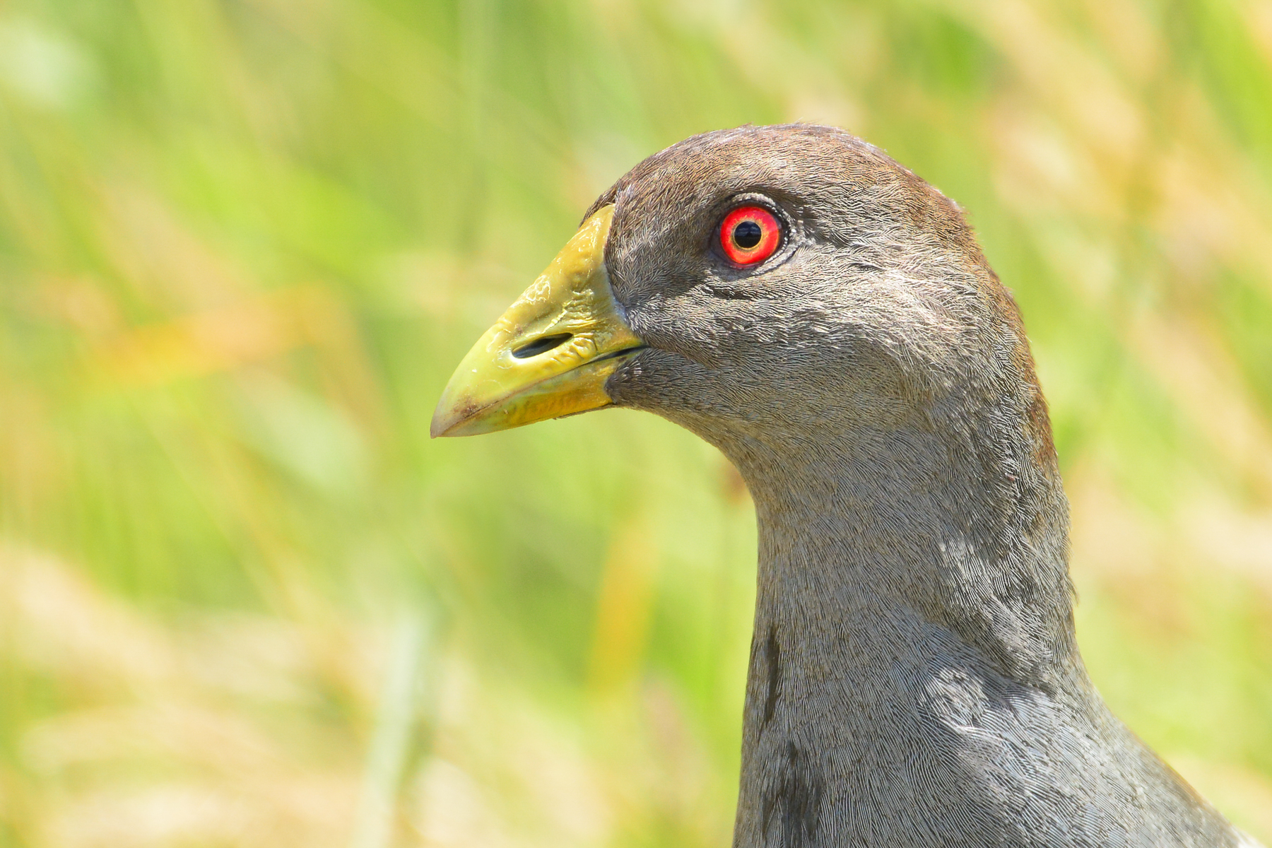 Tasmanian Native-hen (Image ID 46316)