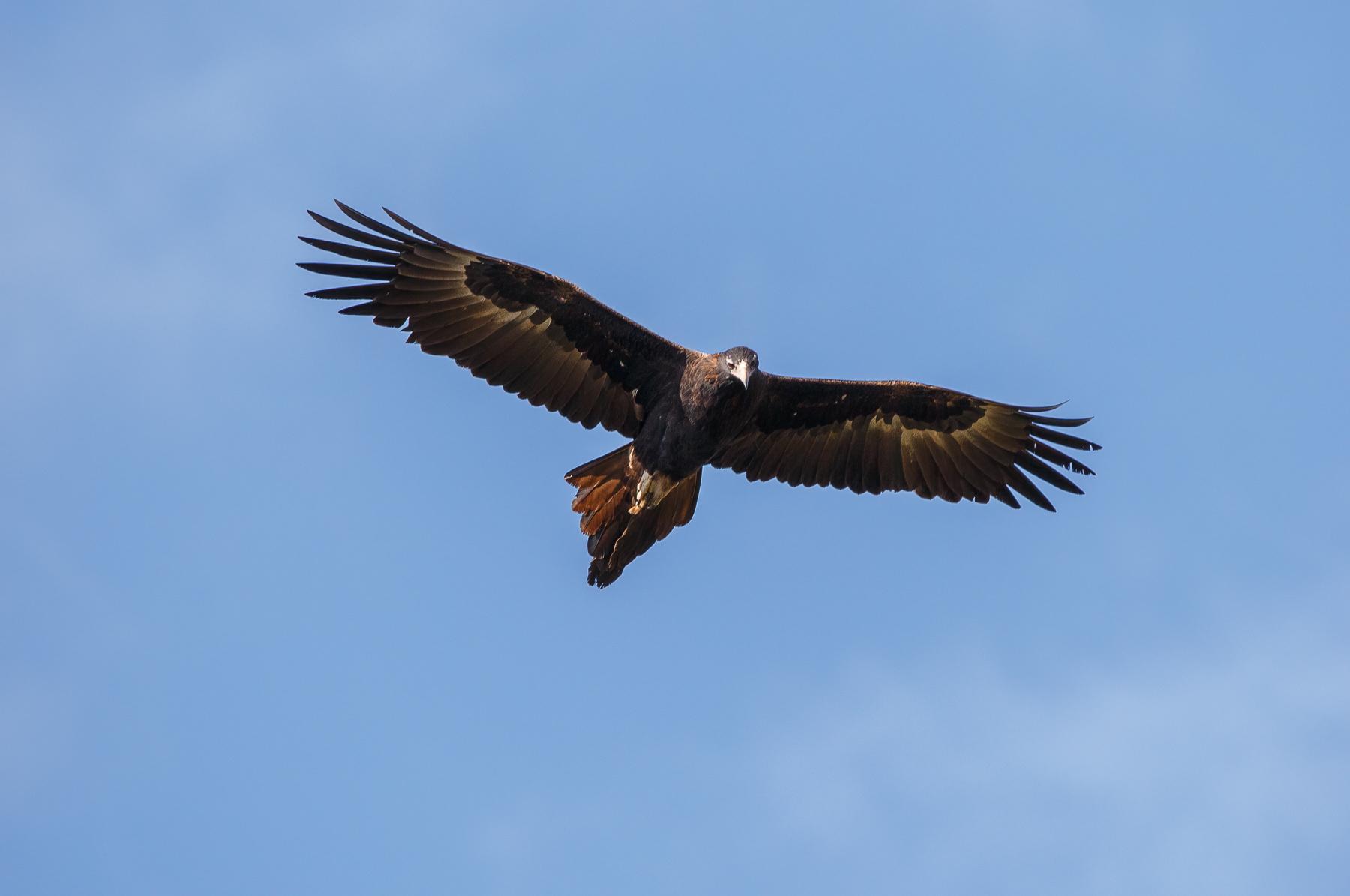 Wedge-tailed Eagle (Image ID 46313)