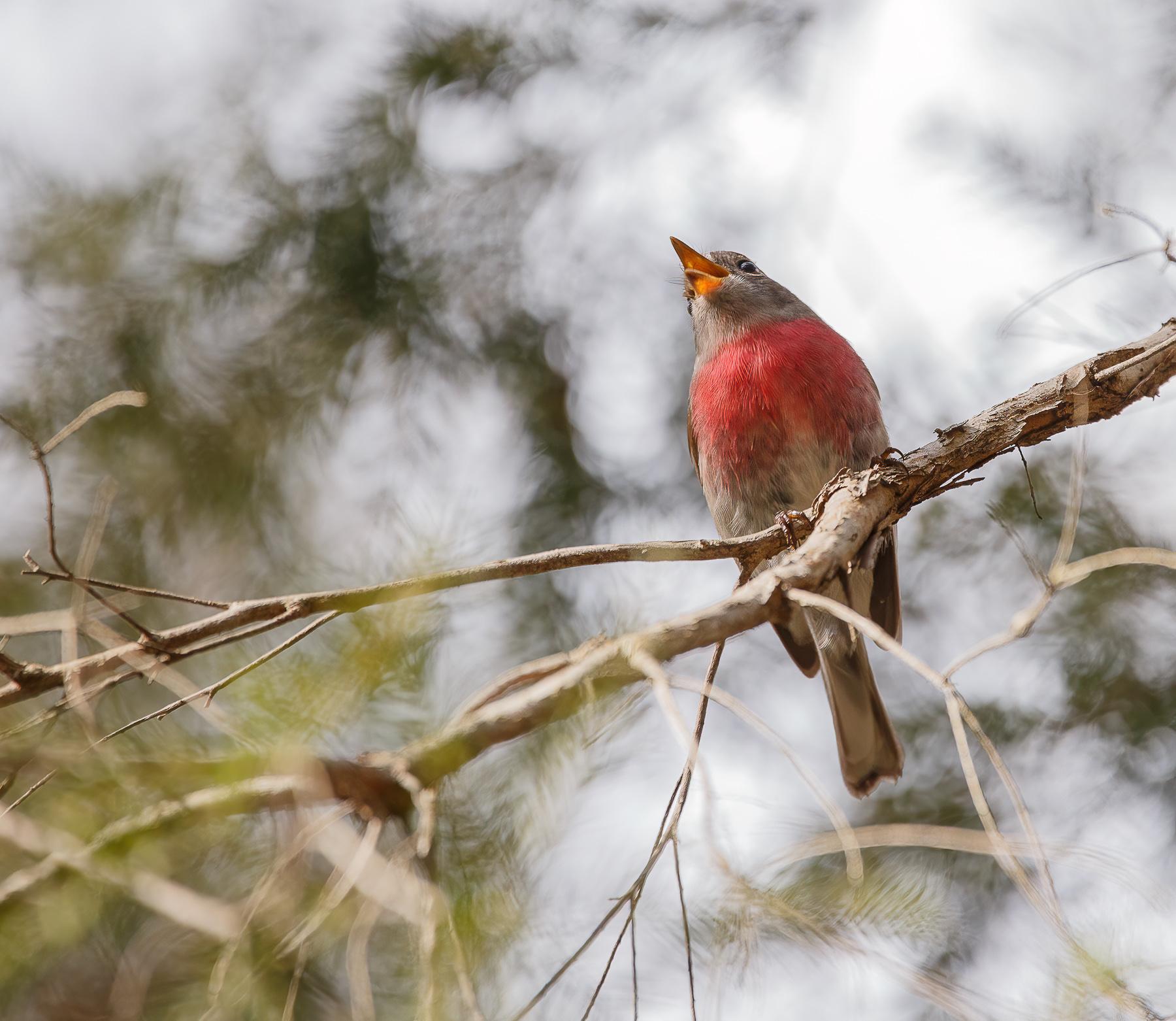 Rose Robin (Image ID 46165)