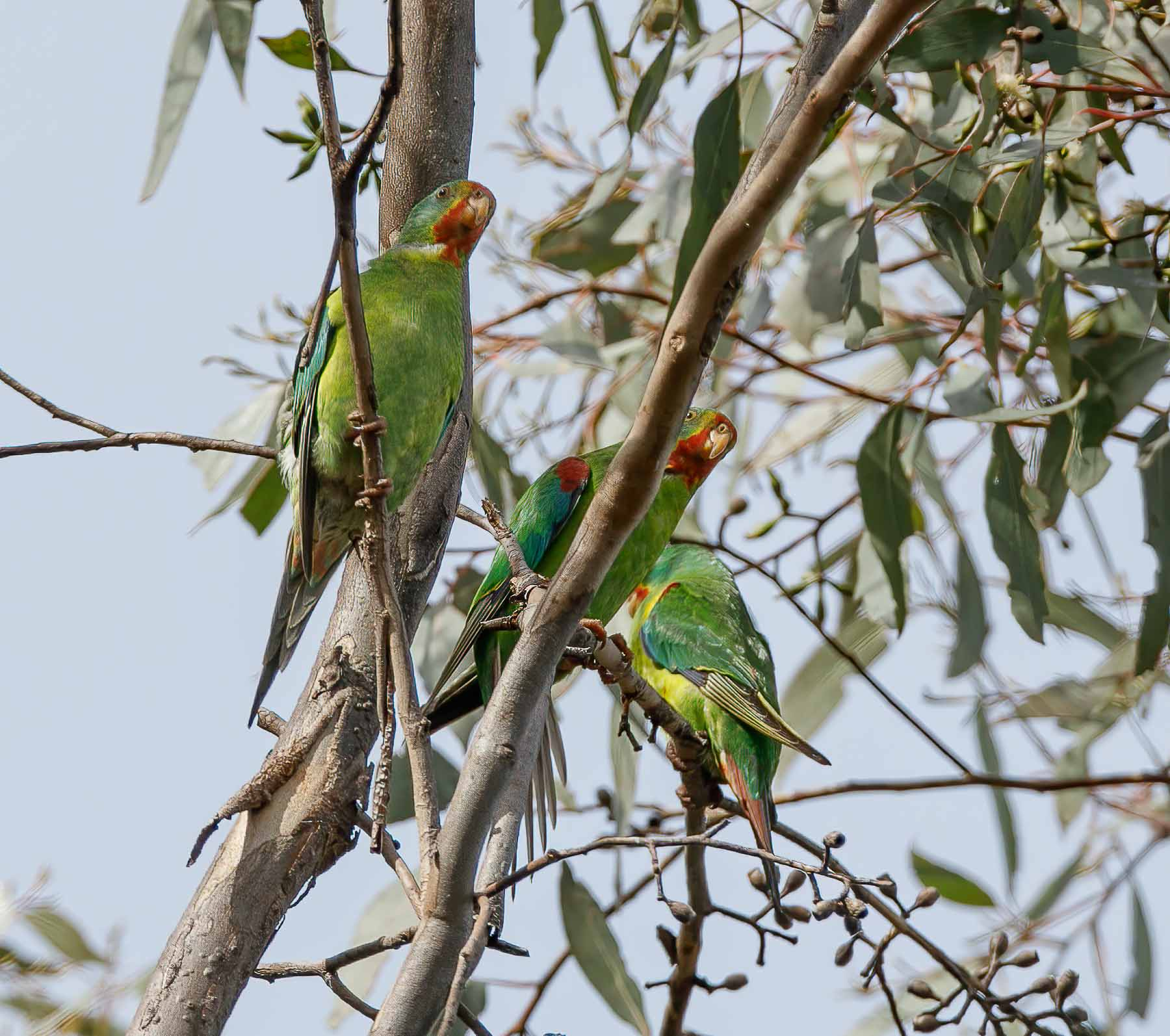 Swift Parrot (Image ID 45954)