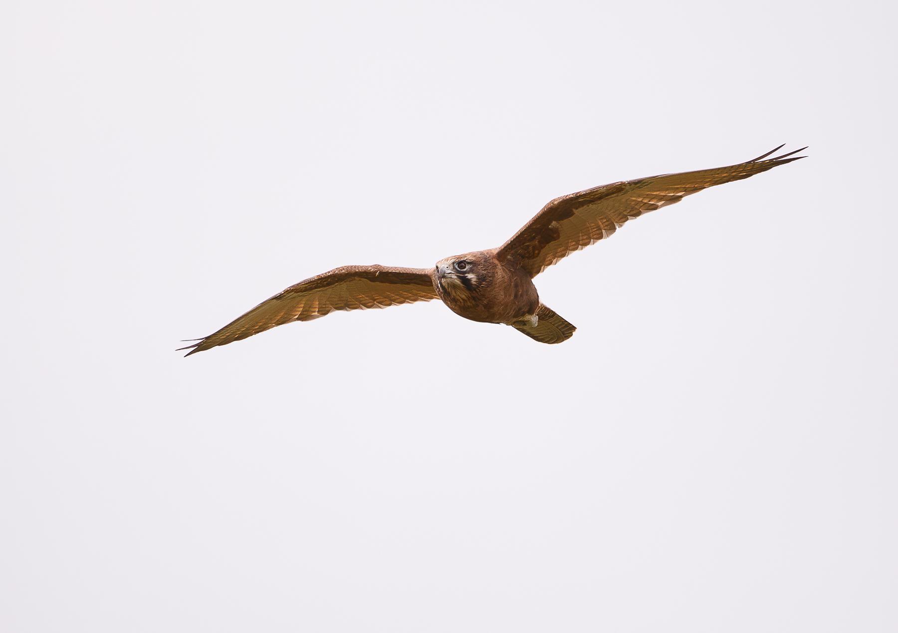 Brown Falcon (Image ID 46167)