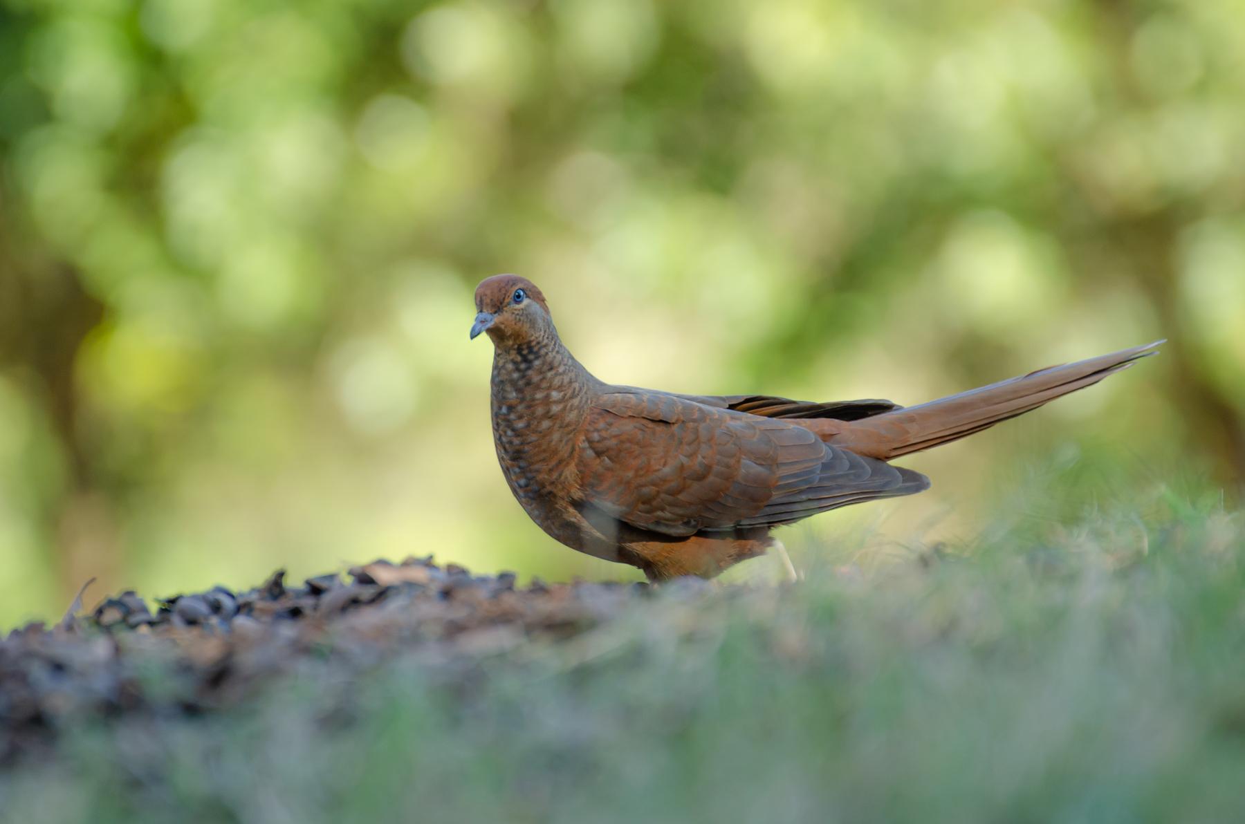 Brown Cuckoo-Dove (Image ID 45994)