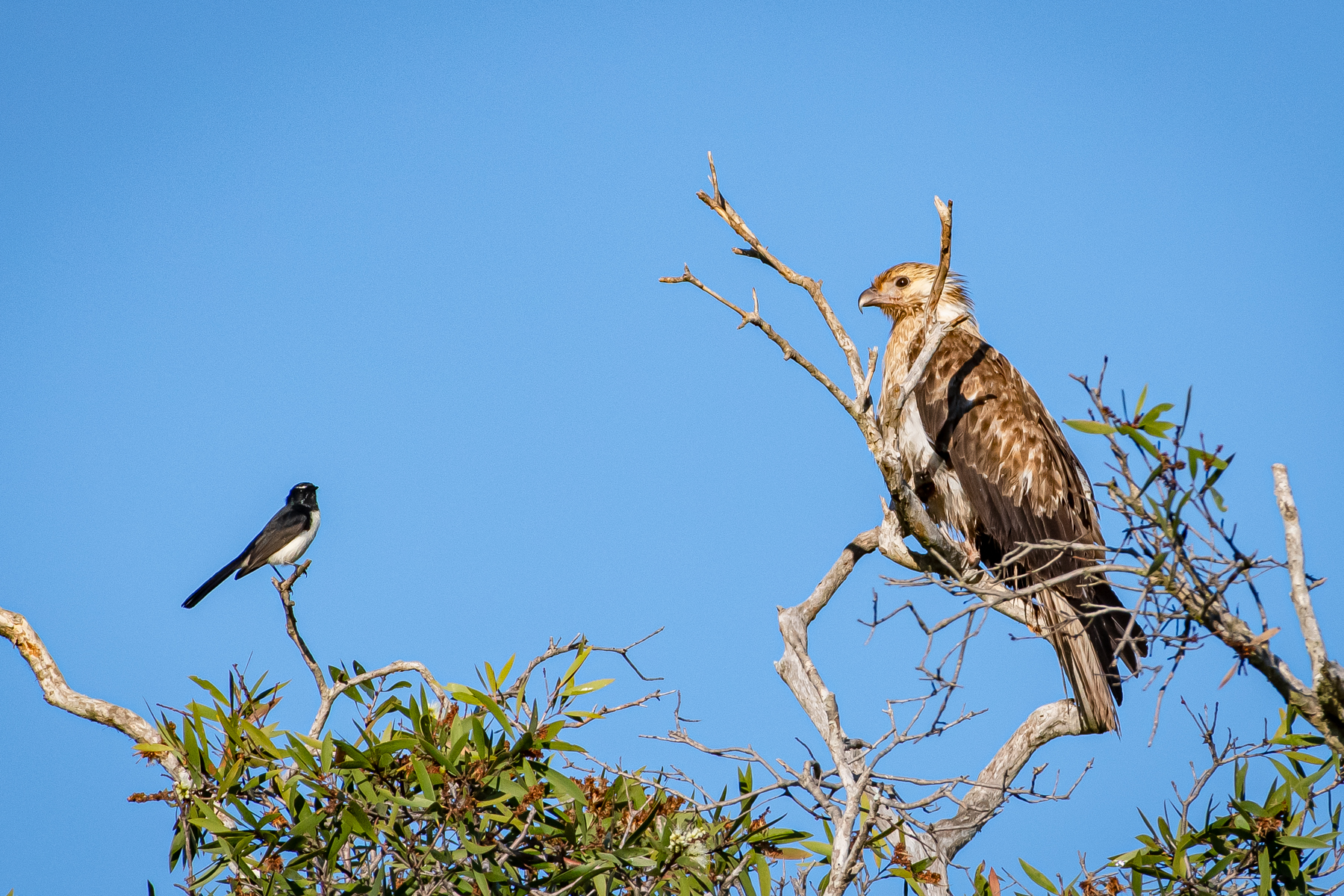 Whistling Kite, Willie Wagtail (Image ID 46118)
