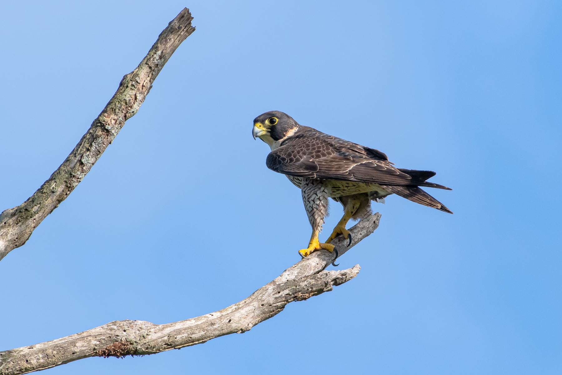 Peregrine Falcon (Image ID 46164)
