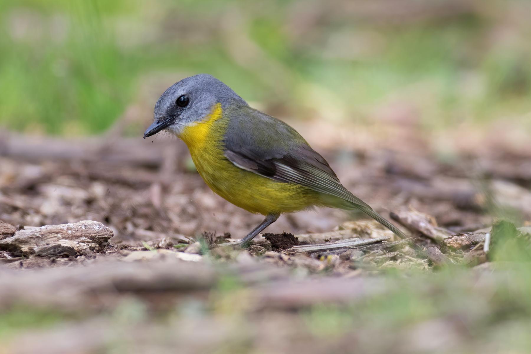 Eastern Yellow Robin (Image ID 46502)