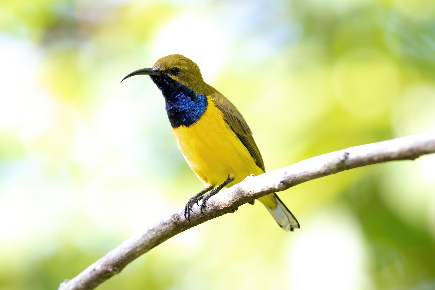 Olive-backed Sunbird (Image ID 45960)