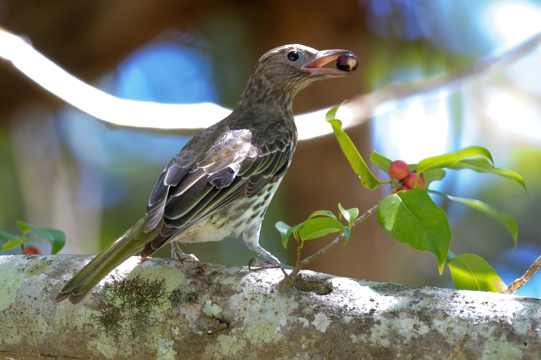Australasian Figbird (Image ID 46189)