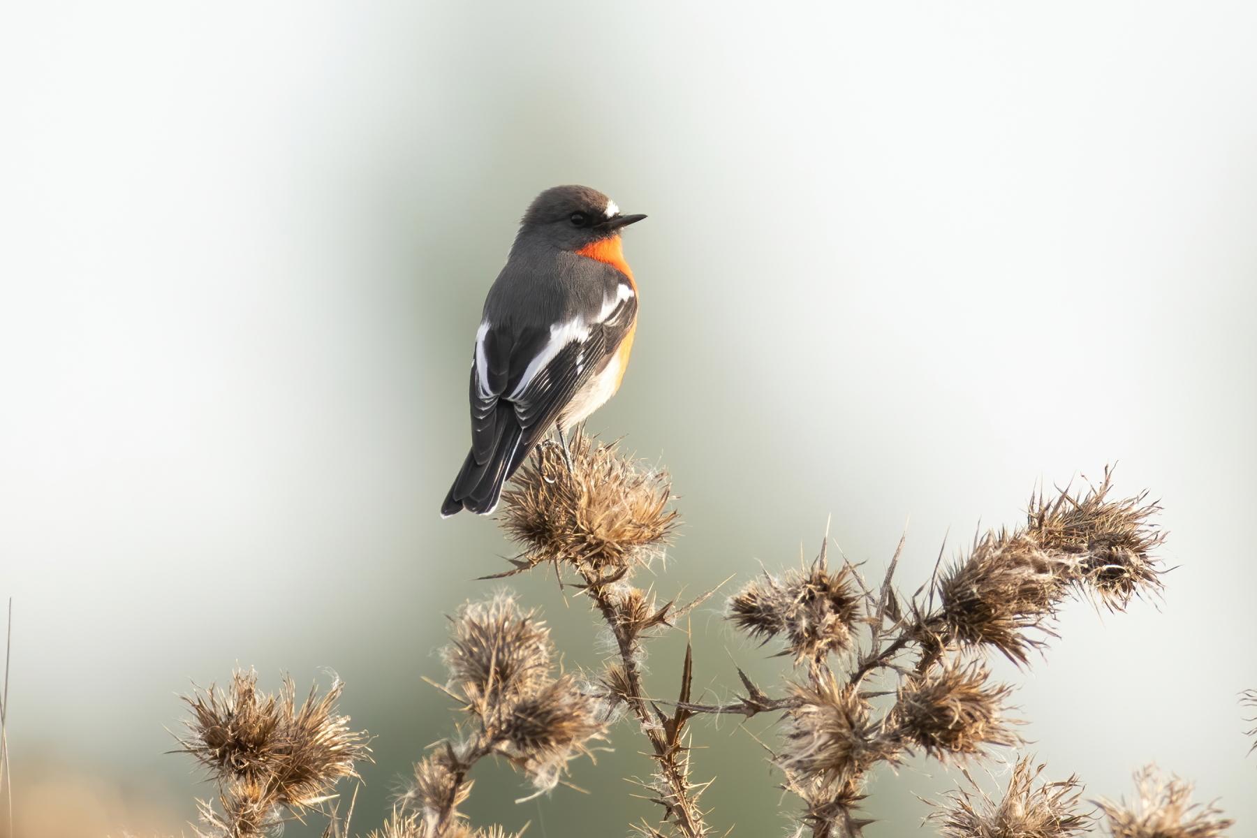 Flame Robin (Image ID 46026)