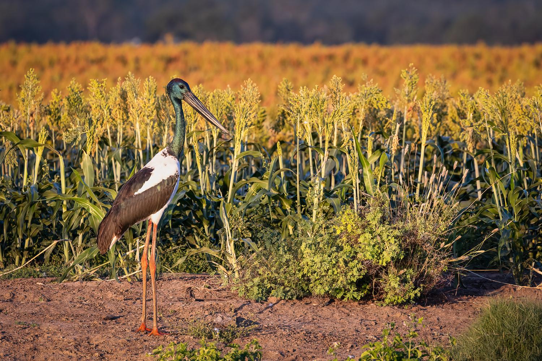 Black-necked Stork (Image ID 46404)