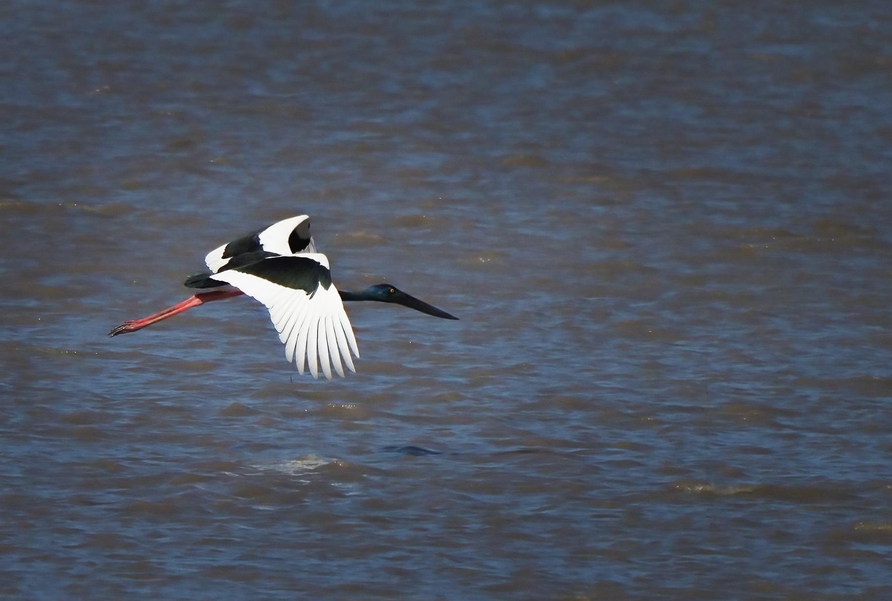 Black-necked Stork (Image ID 46462)