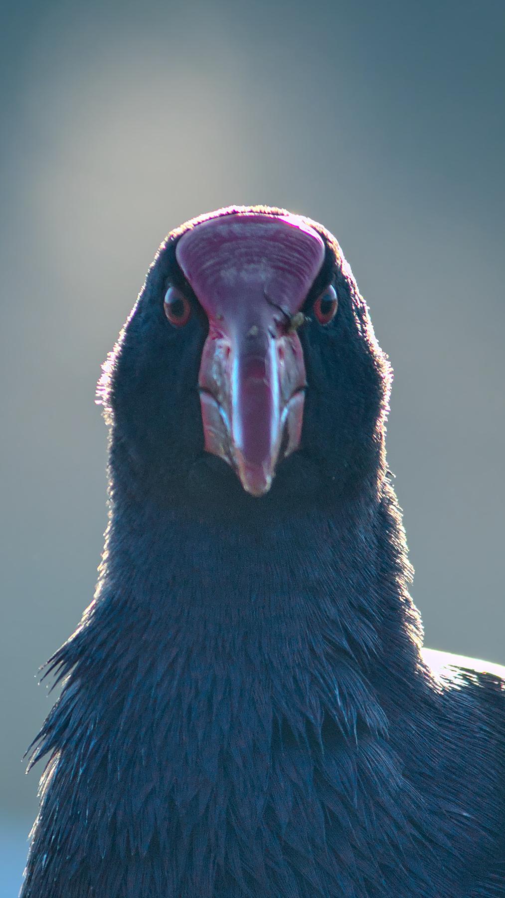 Purple Swamphen (Image ID 46427)