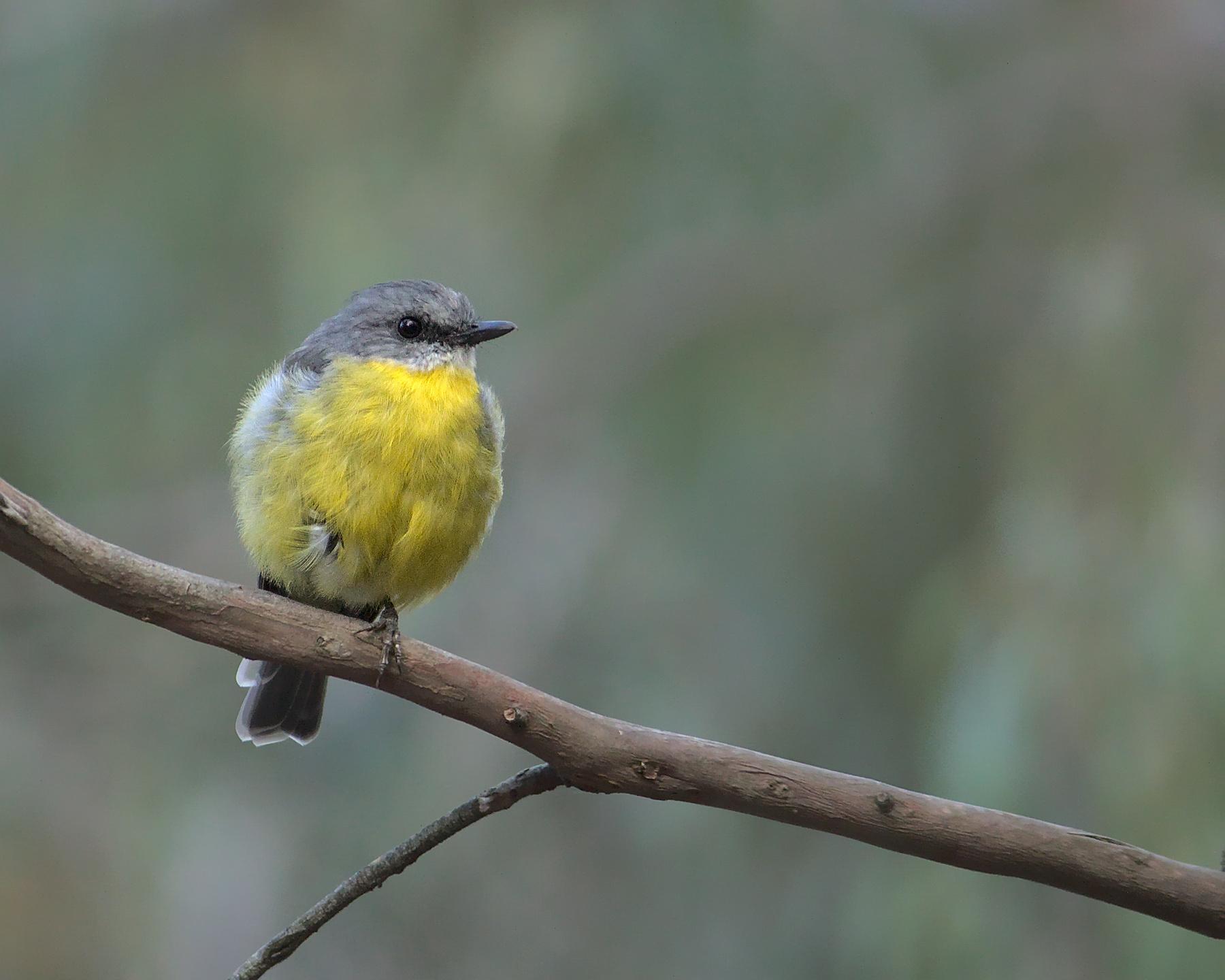 Eastern Yellow Robin (Image ID 46283)