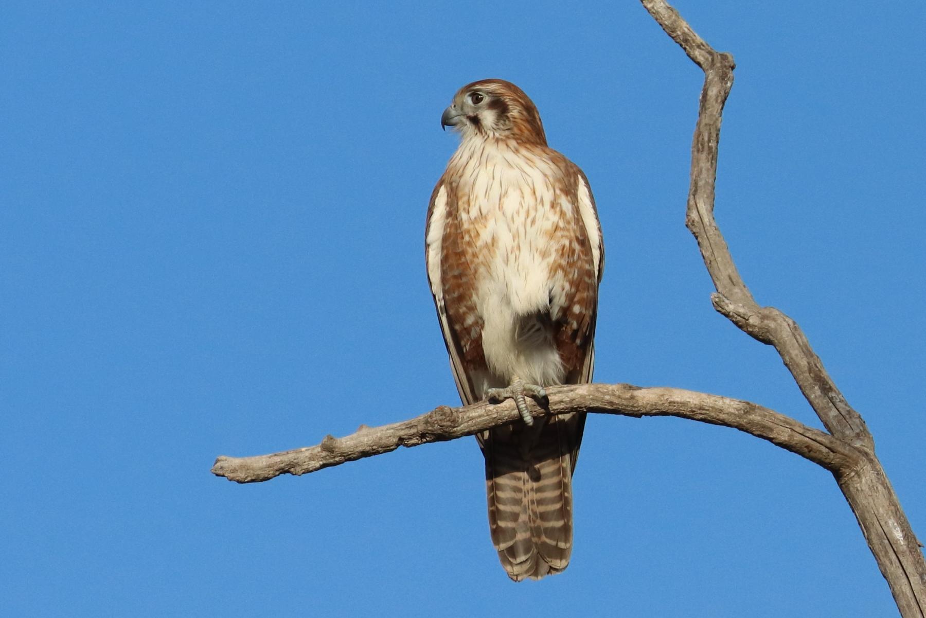 Brown Falcon (Image ID 46480)