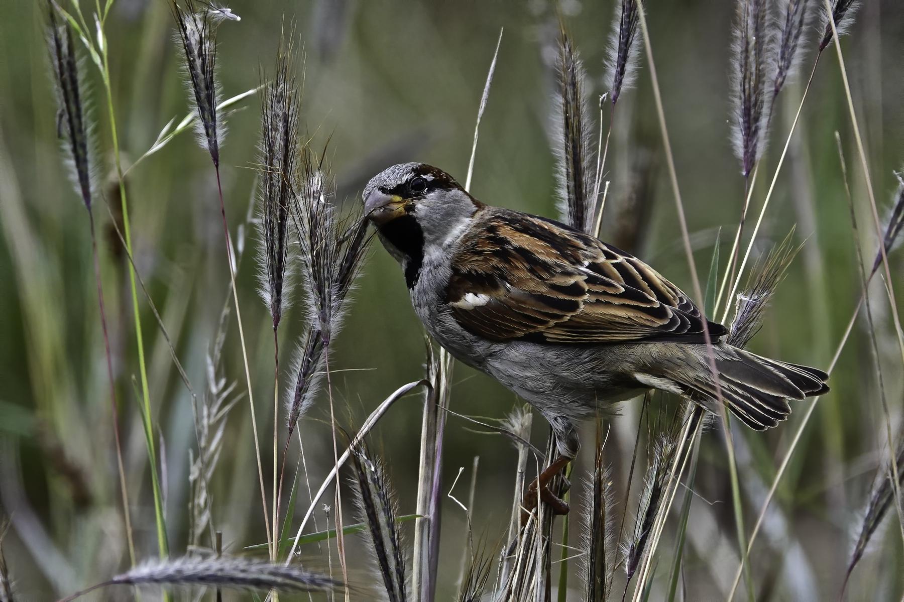 House Sparrow (Image ID 46626)