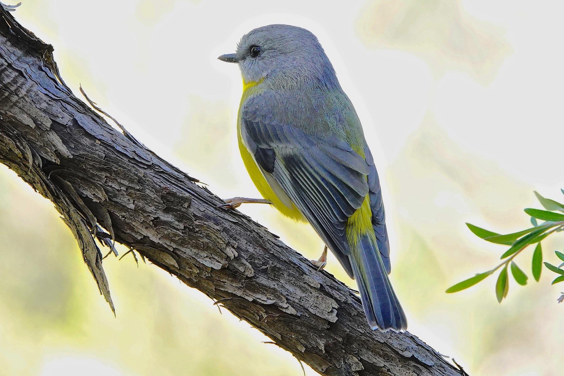 Eastern Yellow Robin (Image ID 46545)
