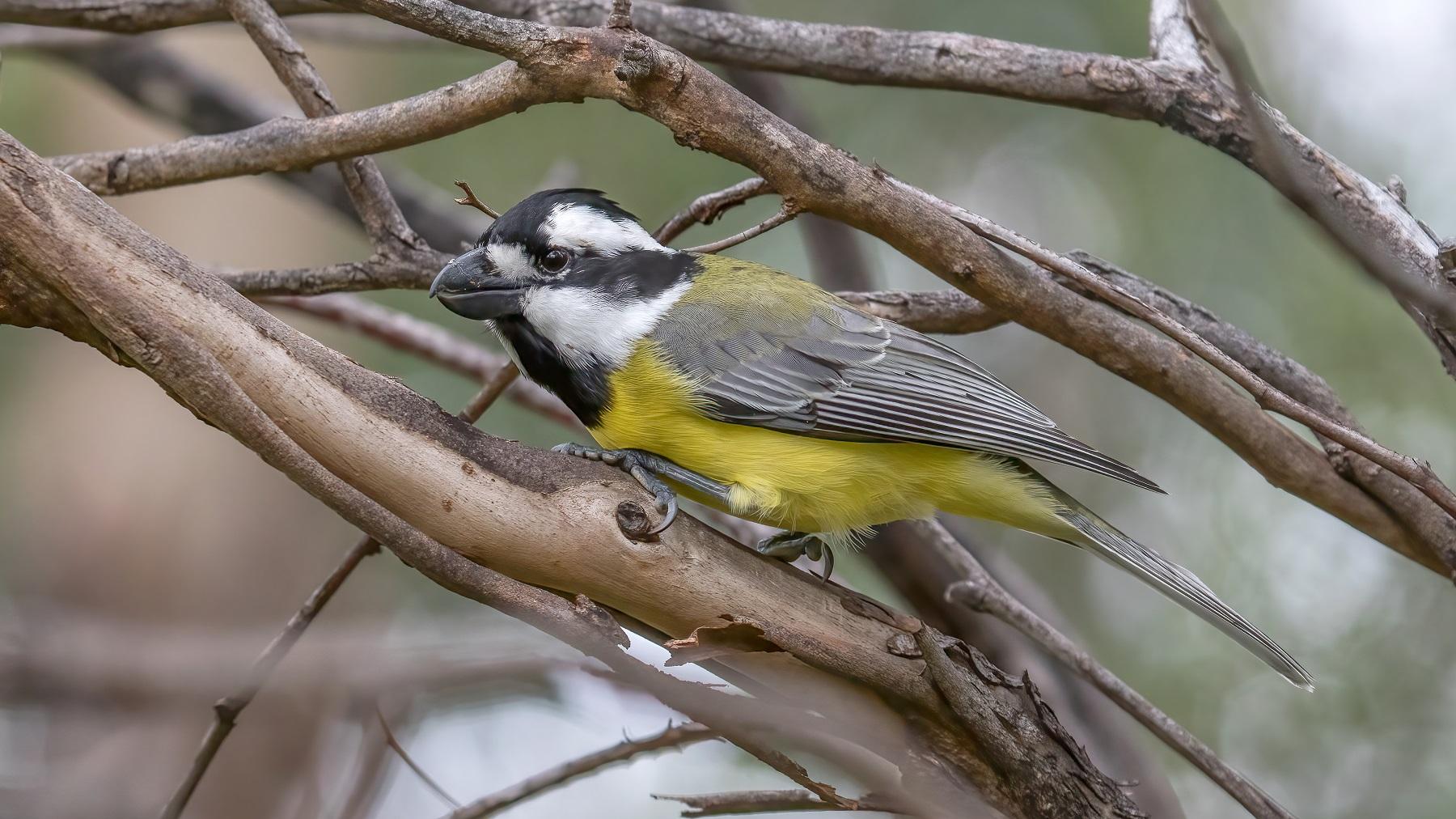 Eastern Shrike-tit (Image ID 46599)