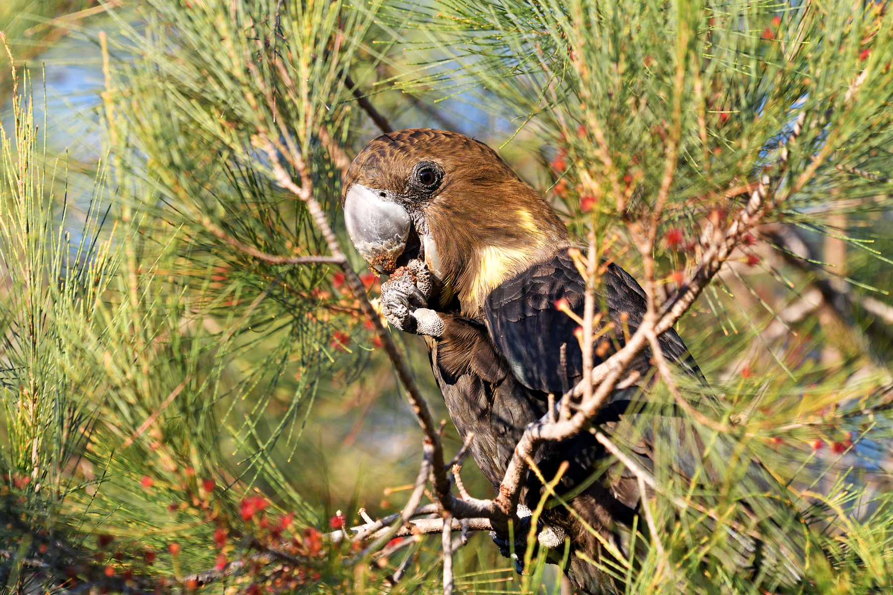 Glossy Black-Cockatoo (Image ID 46878)