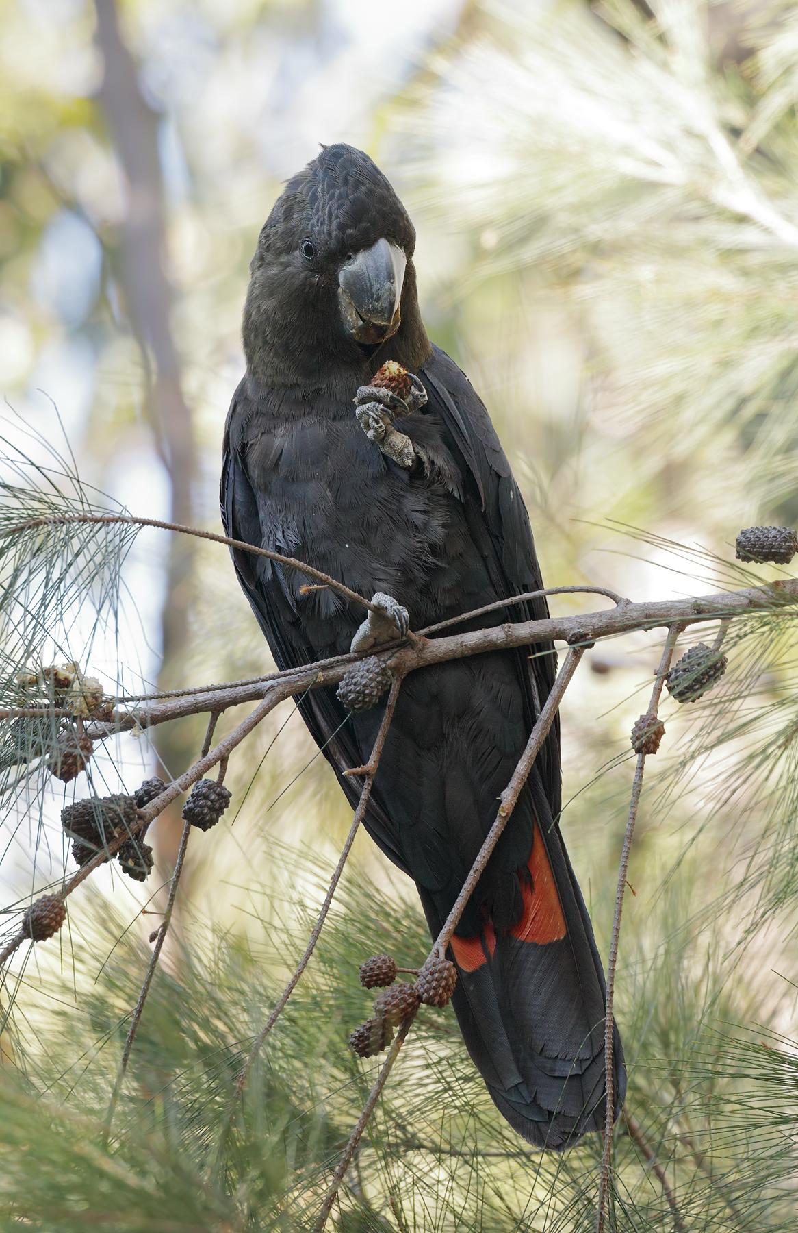 Glossy Black-Cockatoo (Image ID 46698)