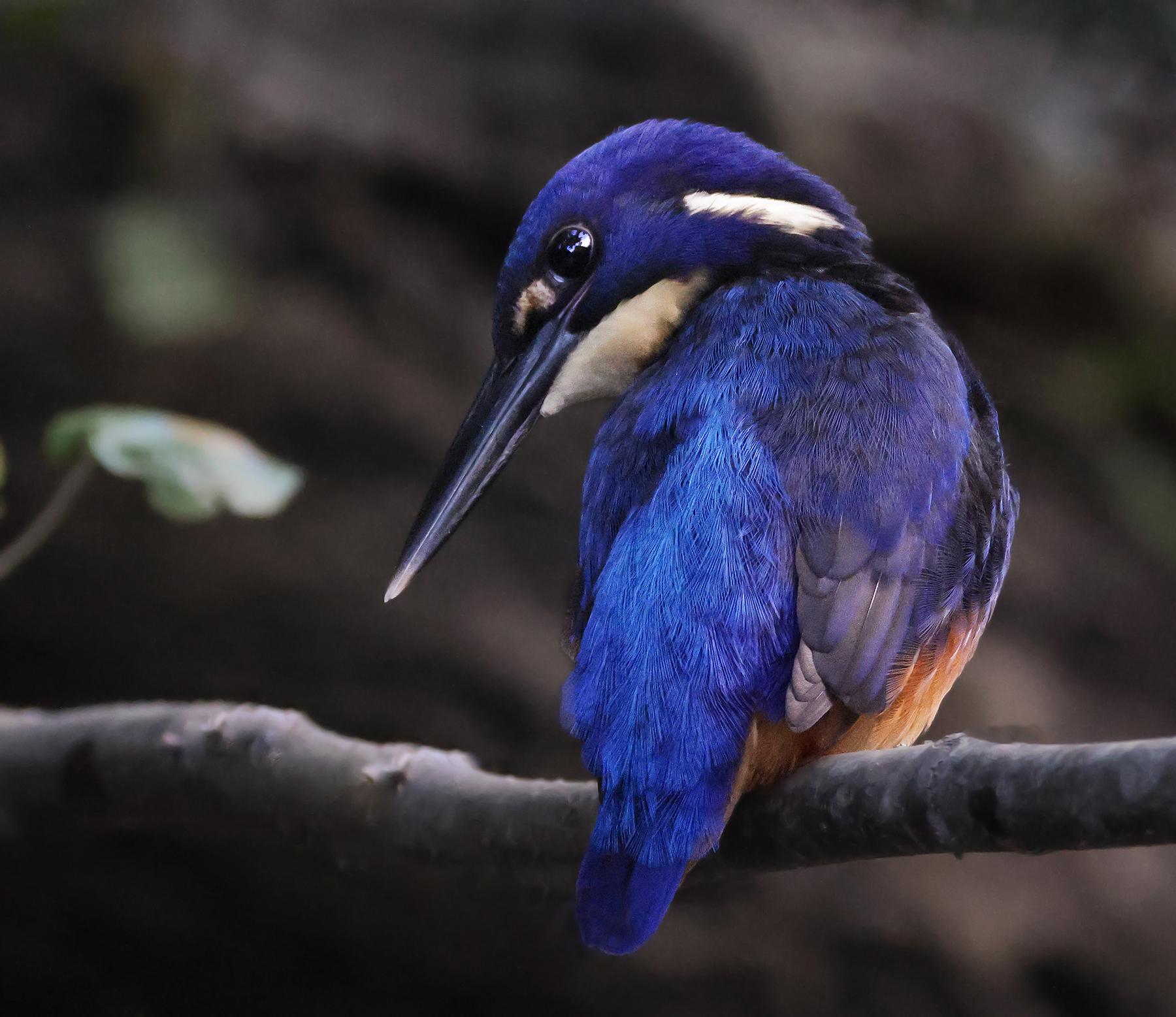 Azure Kingfisher (Image ID 46560)