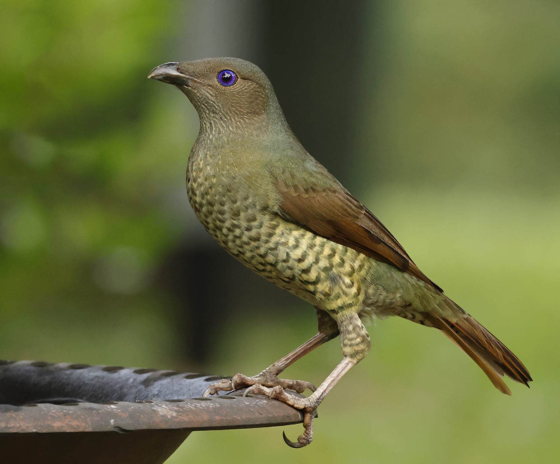 Satin Bowerbird (Image ID 46614)