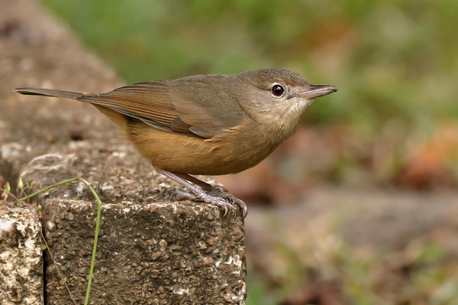 Little Shrike-thrush (Image ID 46593)