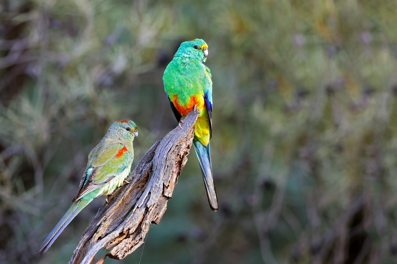 Mulga Parrot (Image ID 46563)