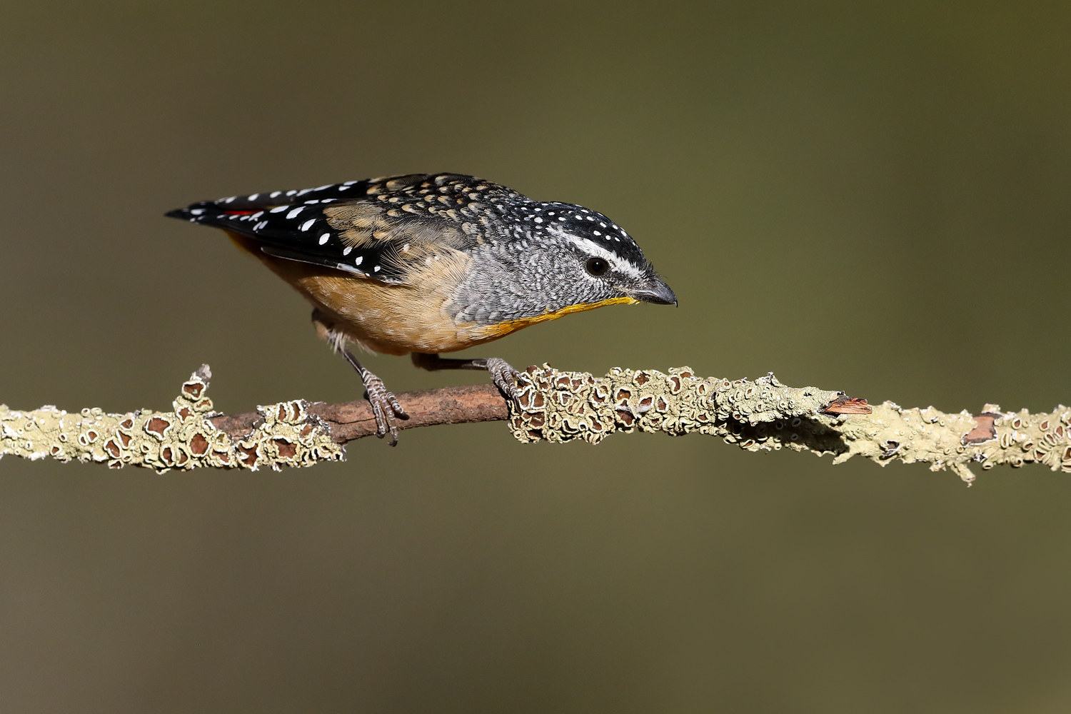 Spotted Pardalote (Image ID 46562)