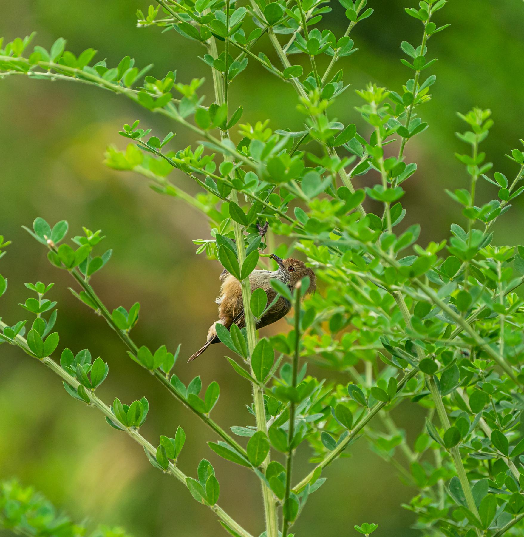 Brown Thornbill (Image ID 46859)
