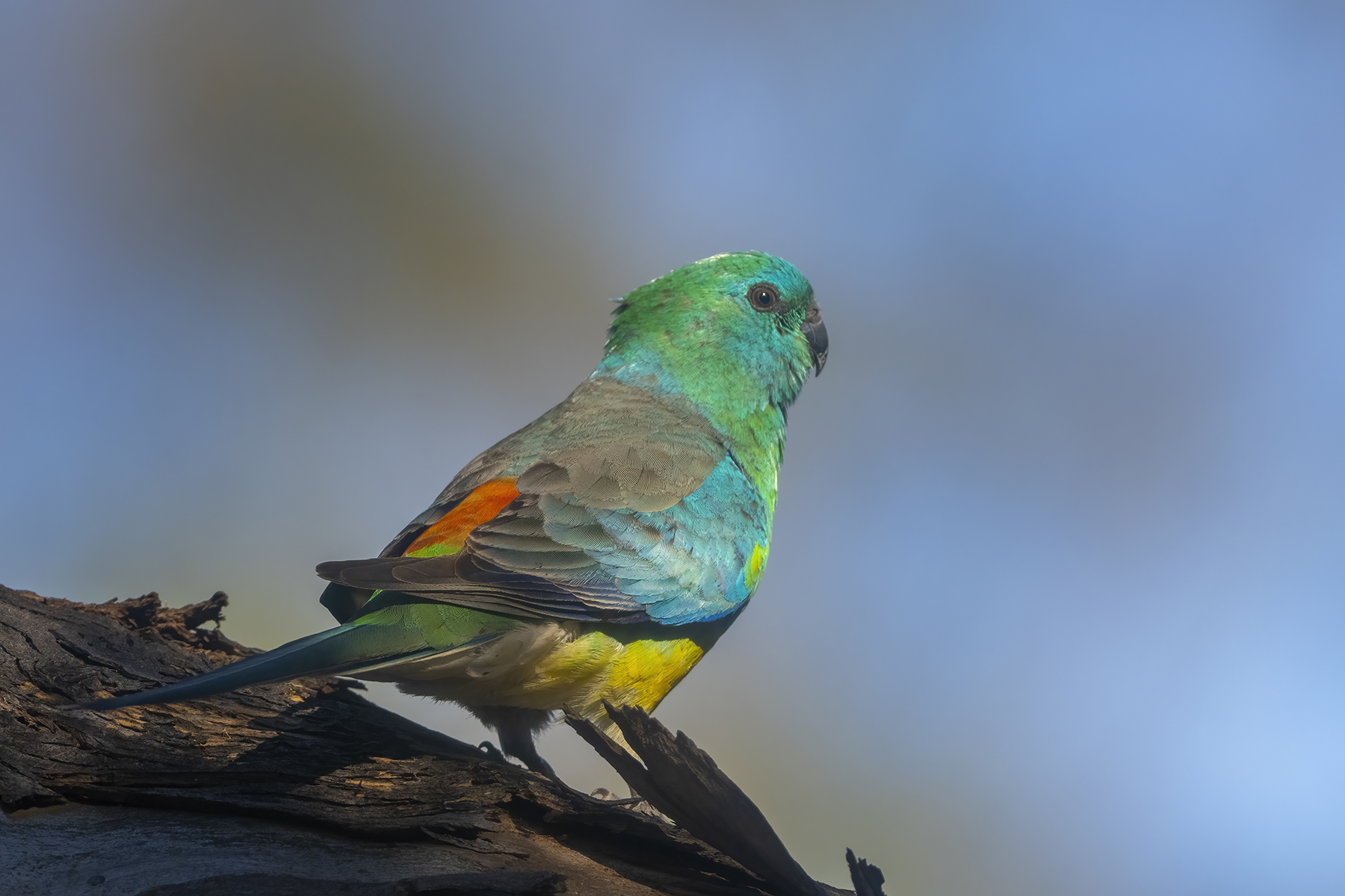 Red-rumped Parrot (Image ID 46733)
