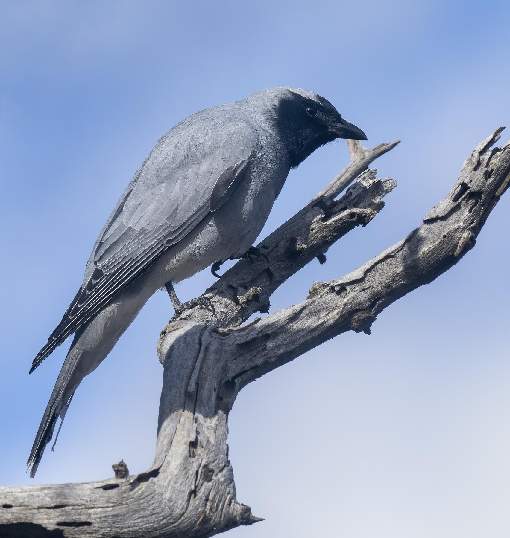 Black-faced Cuckoo-shrike (Image ID 46647)
