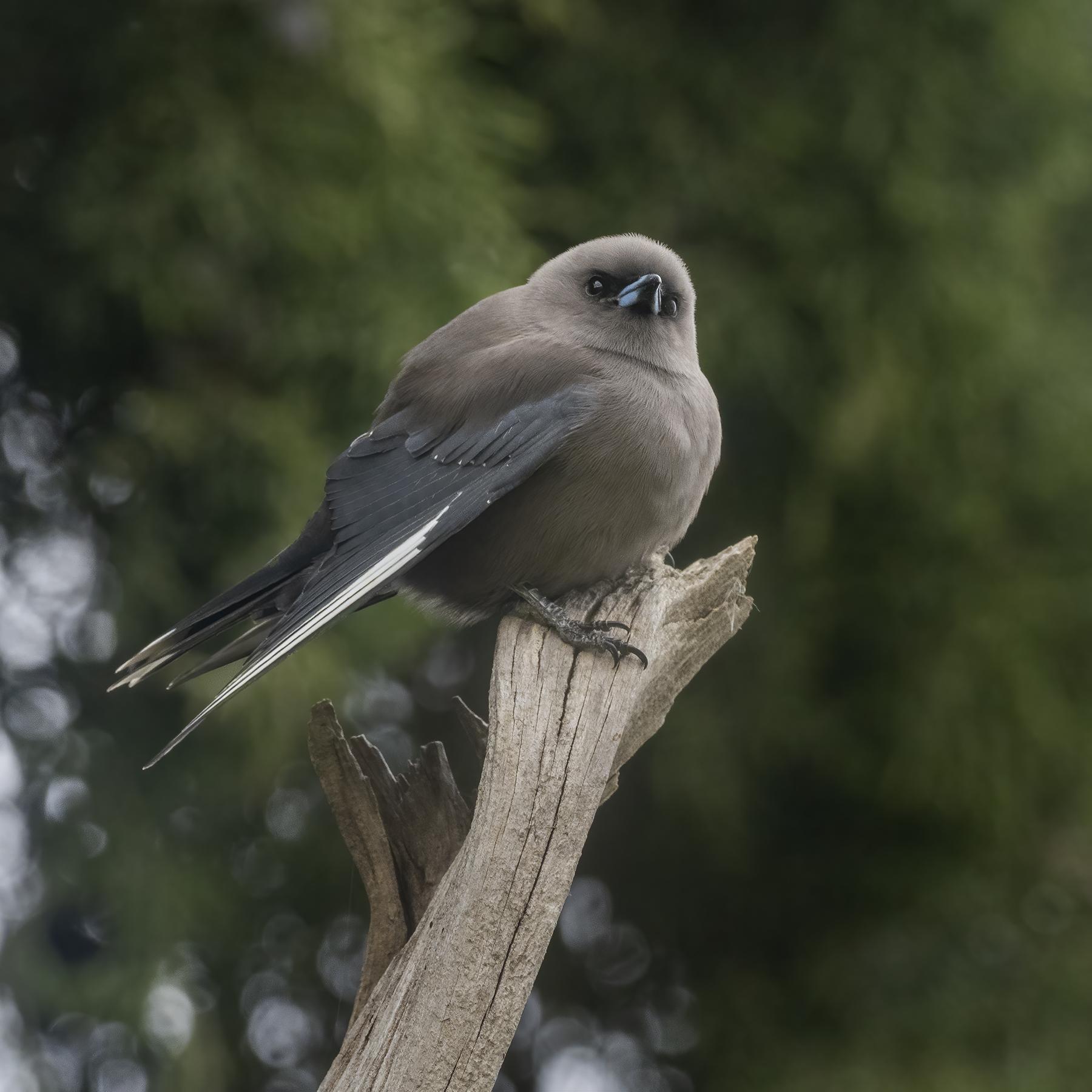 Dusky Woodswallow (Image ID 46591)