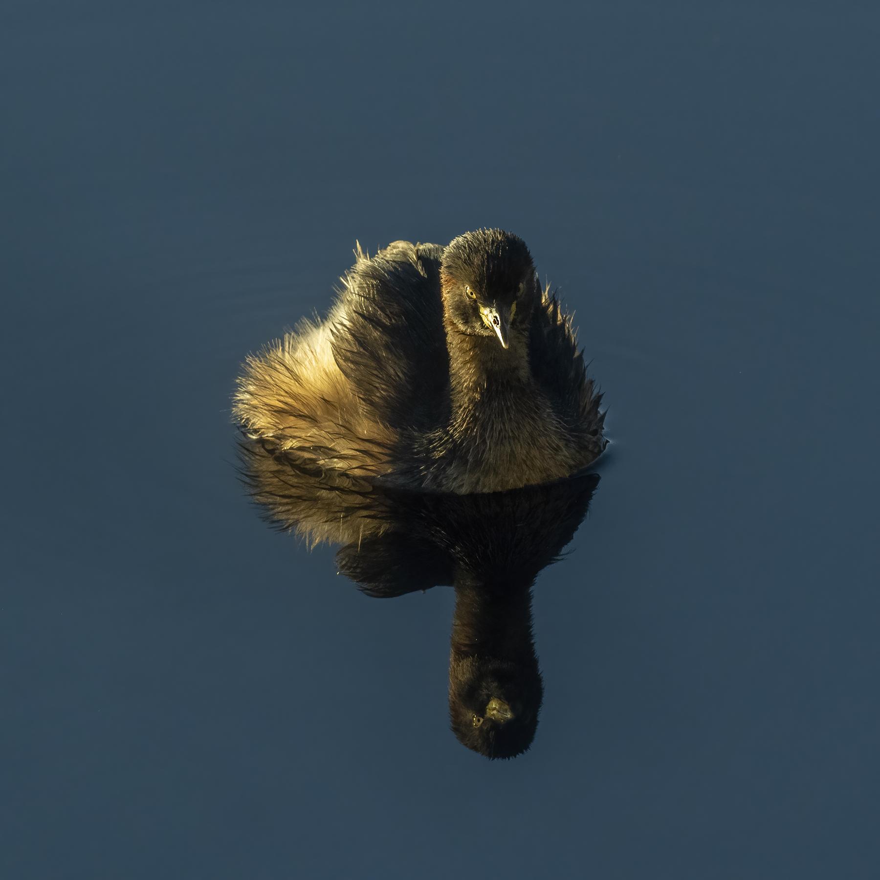 Australasian Grebe (Image ID 46674)