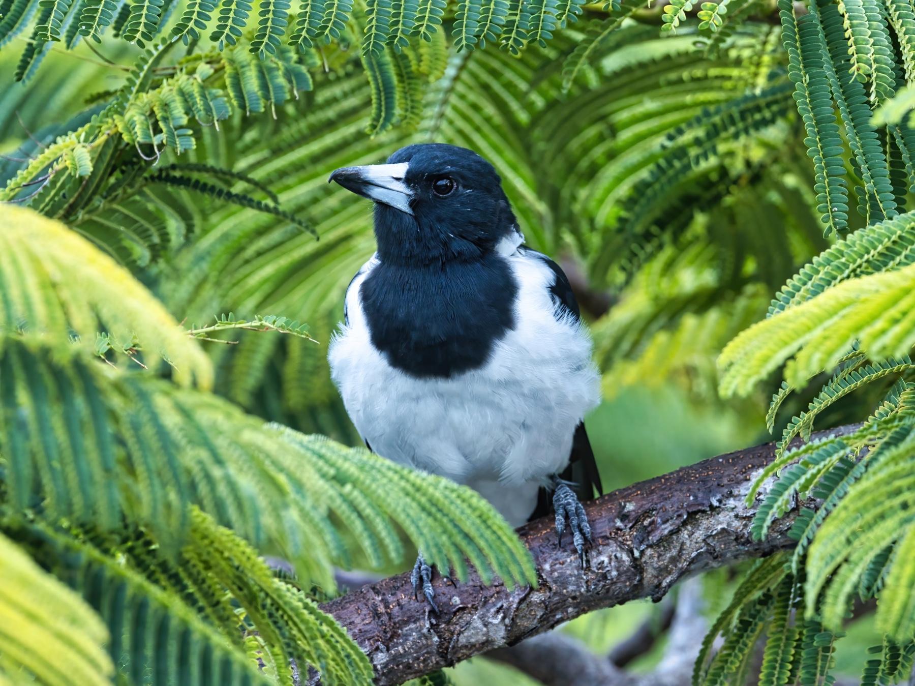 Pied Butcherbird (Image ID 46817)