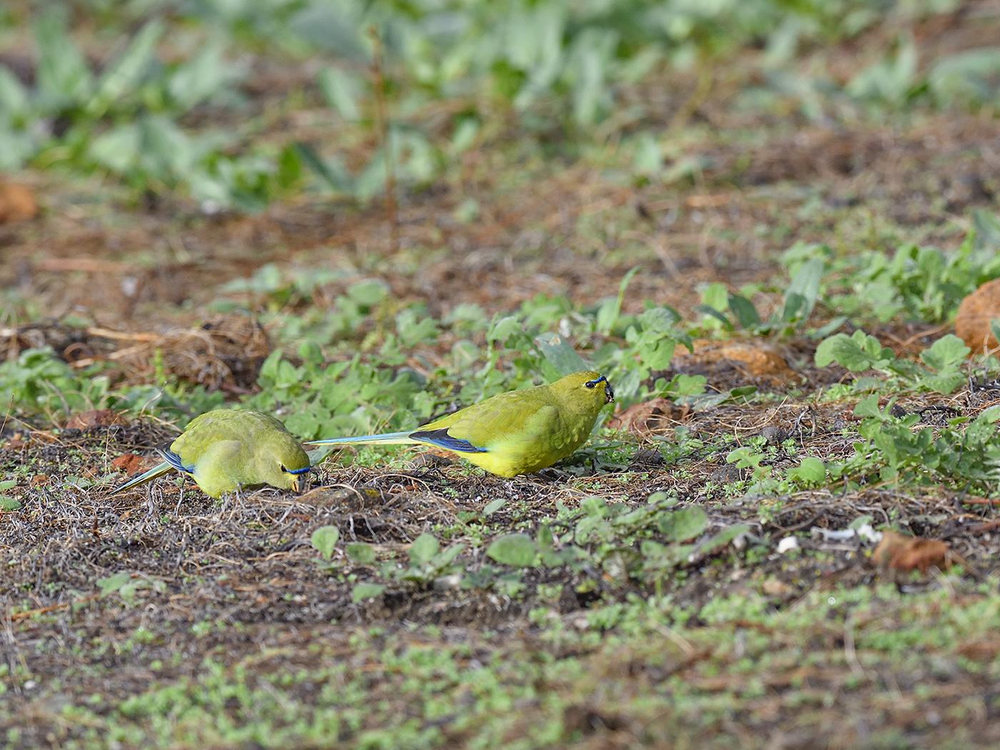 Elegant Parrot (Image ID 46555)
