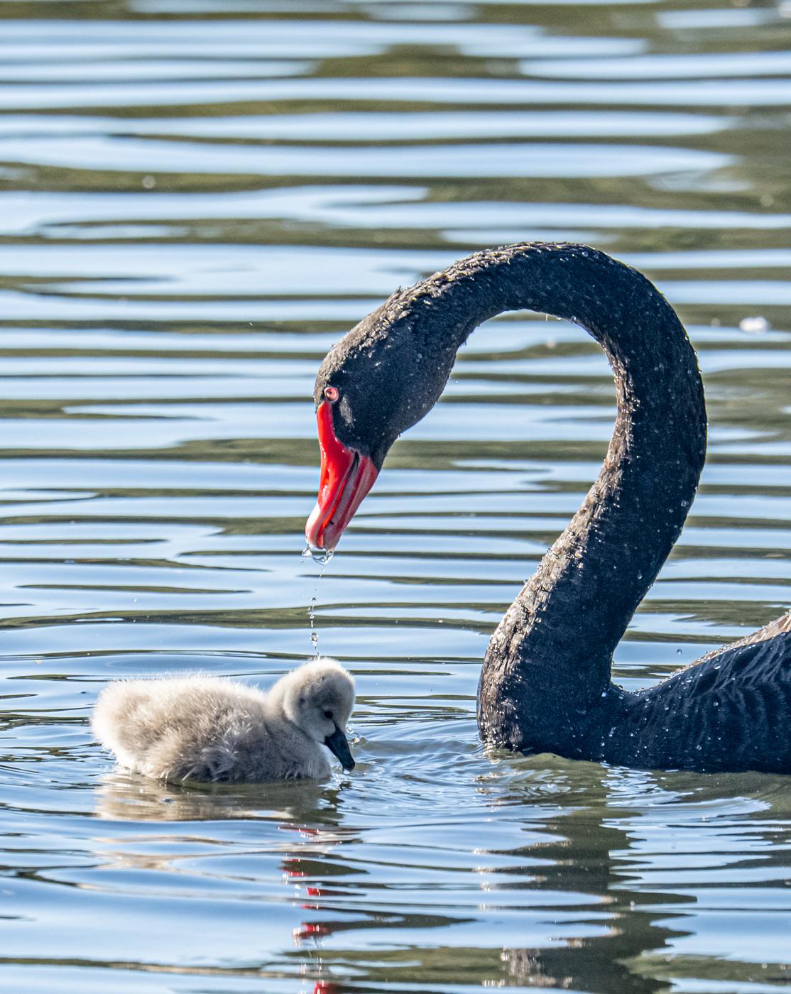 Black Swan (Image ID 46651)