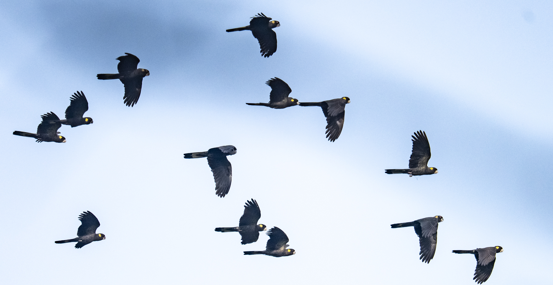 Yellow-tailed Black-Cockatoo (Image ID 46587)
