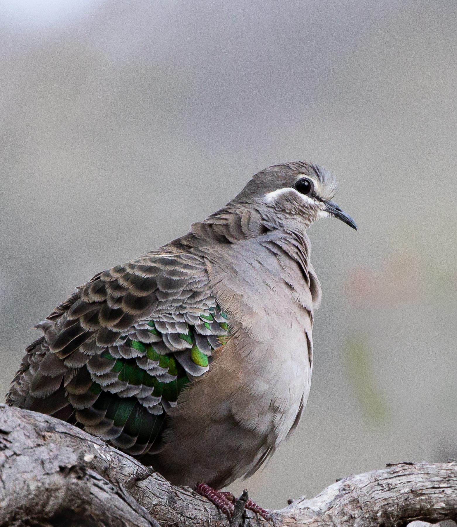Common Bronzewing (Image ID 46715)