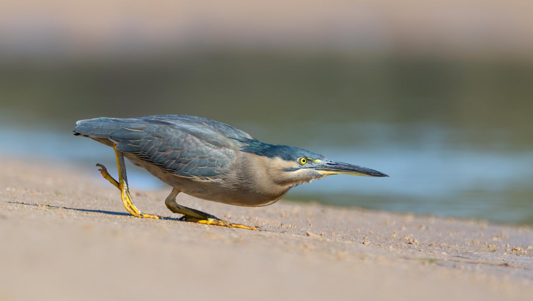 Striated Heron (Image ID 46693)