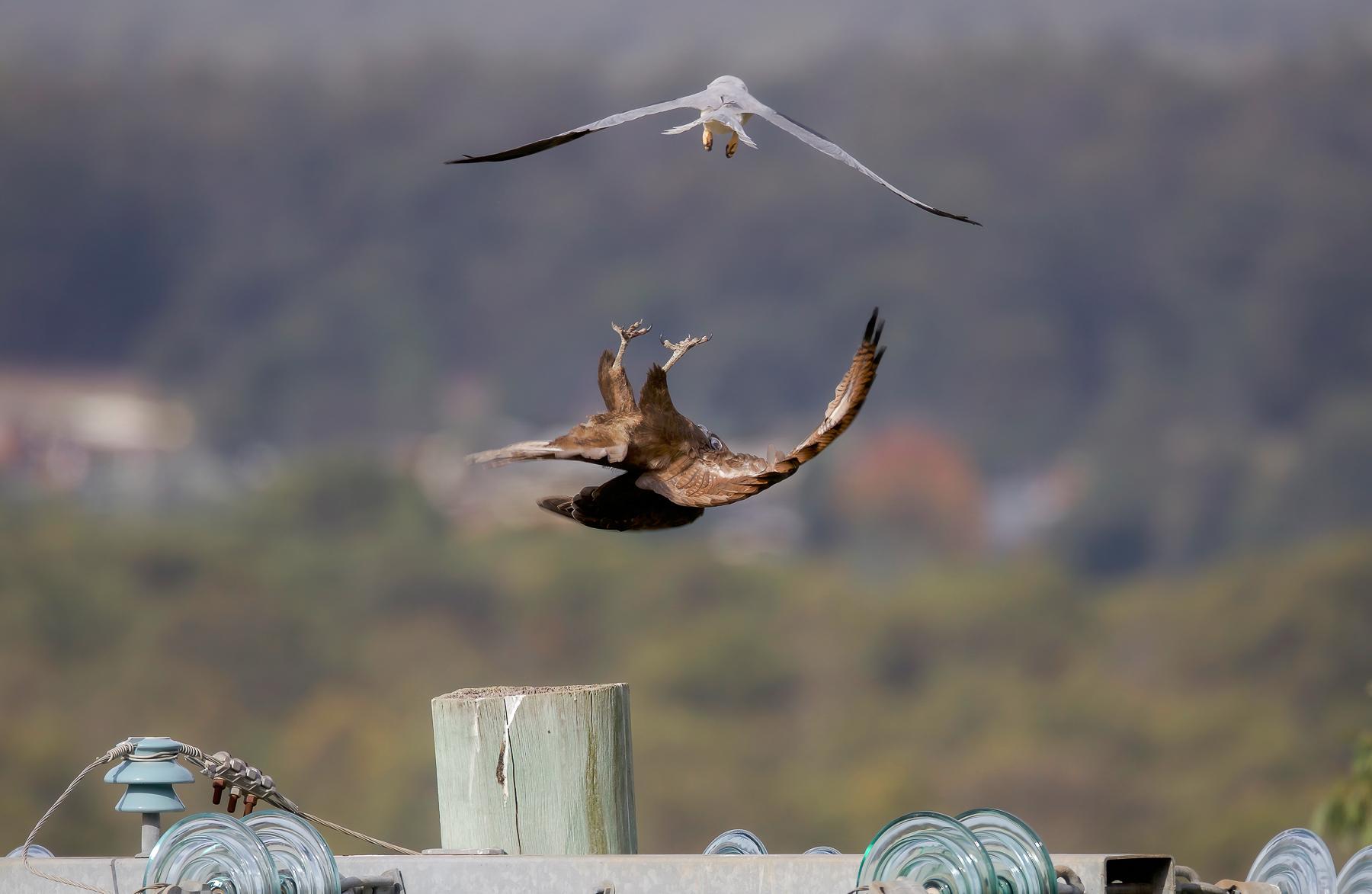 Brown Falcon (Image ID 46843)