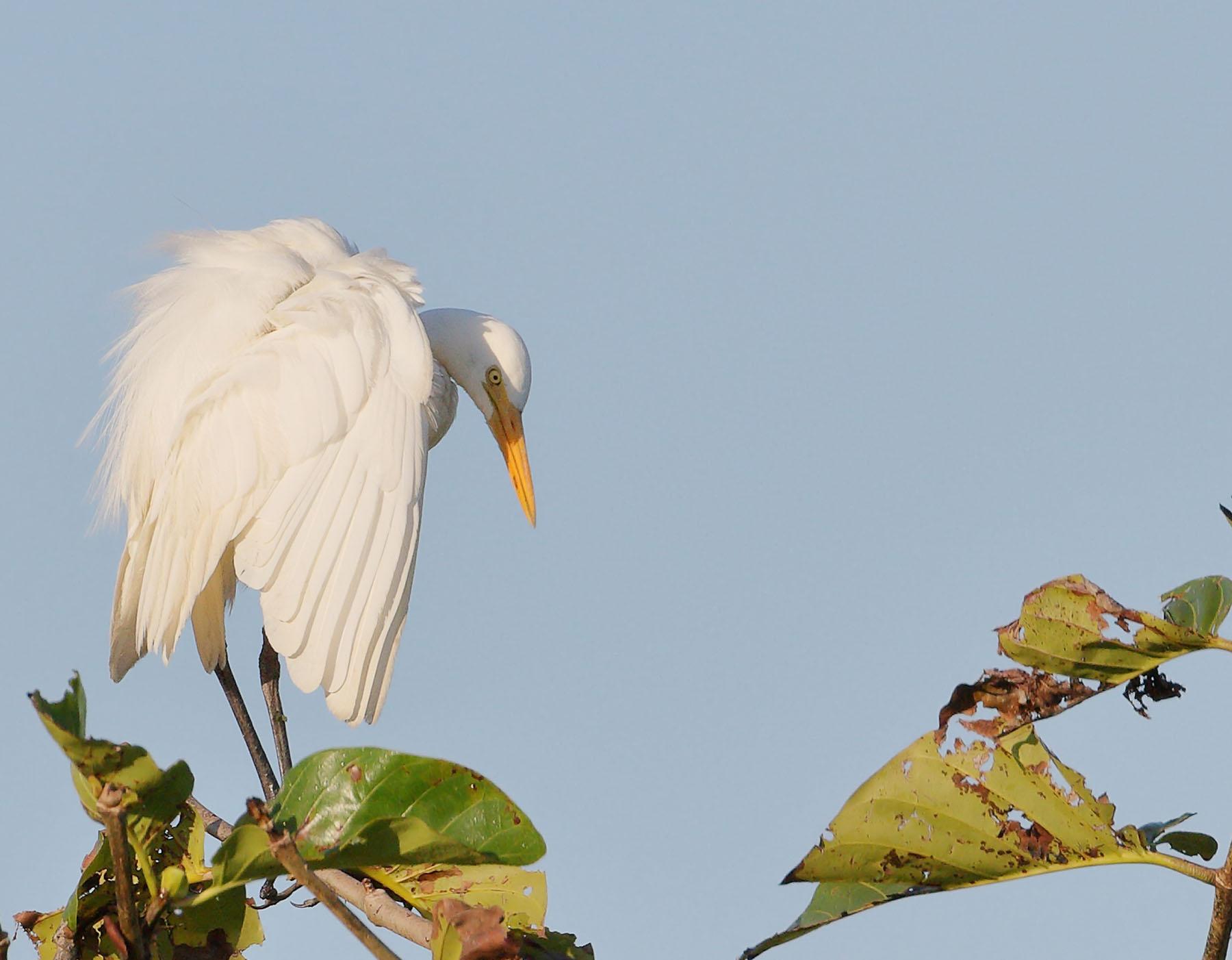 Plumed Egret (Image ID 46730)