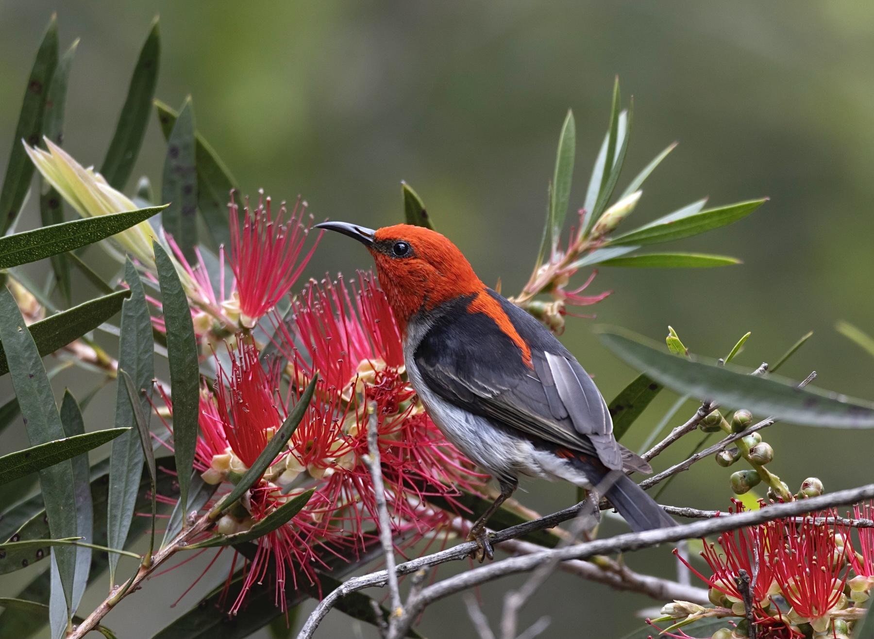 Scarlet Honeyeater (Image ID 46822)