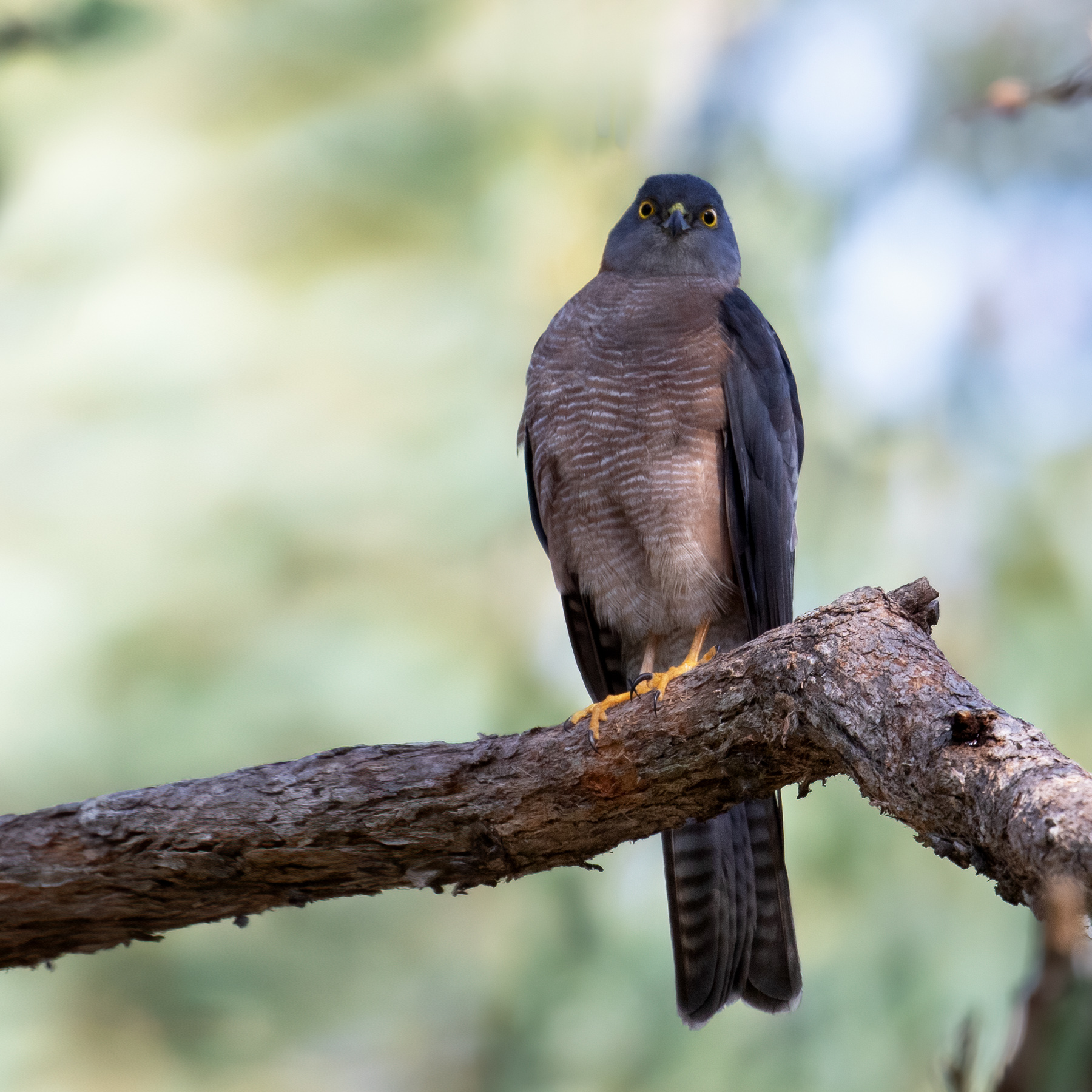 Collared Sparrowhawk (Image ID 46759)