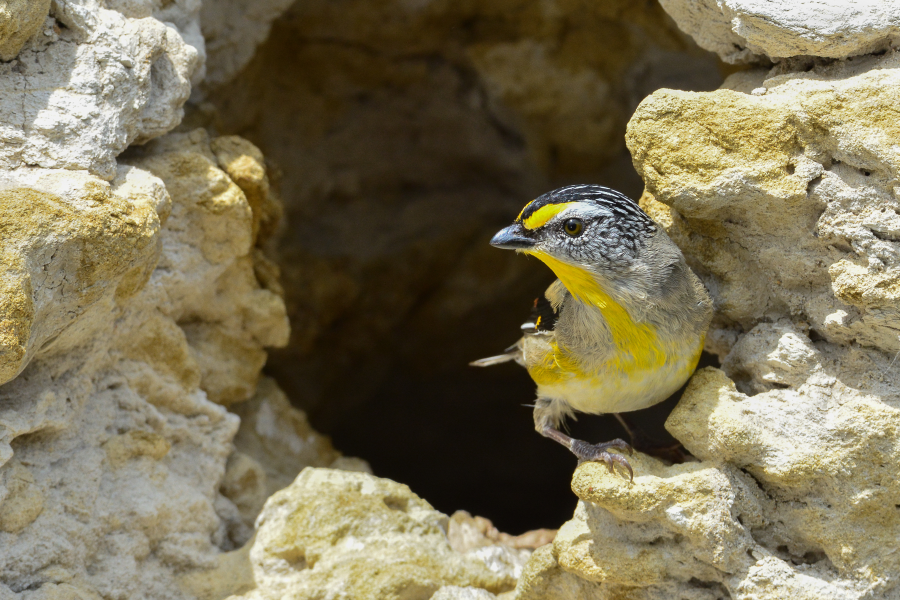 Striated Pardalote (Image ID 46643)