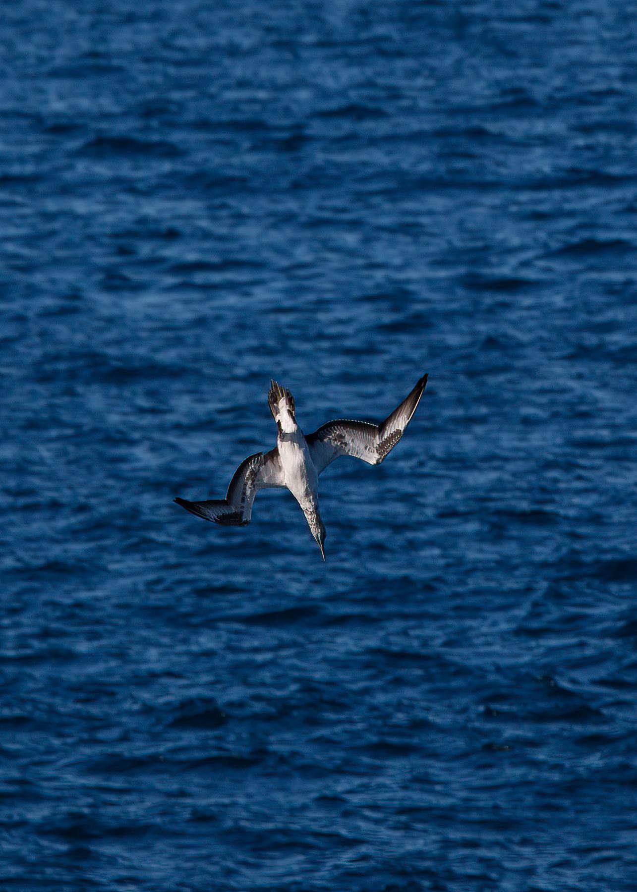 Australasian Gannet (Image ID 46584)