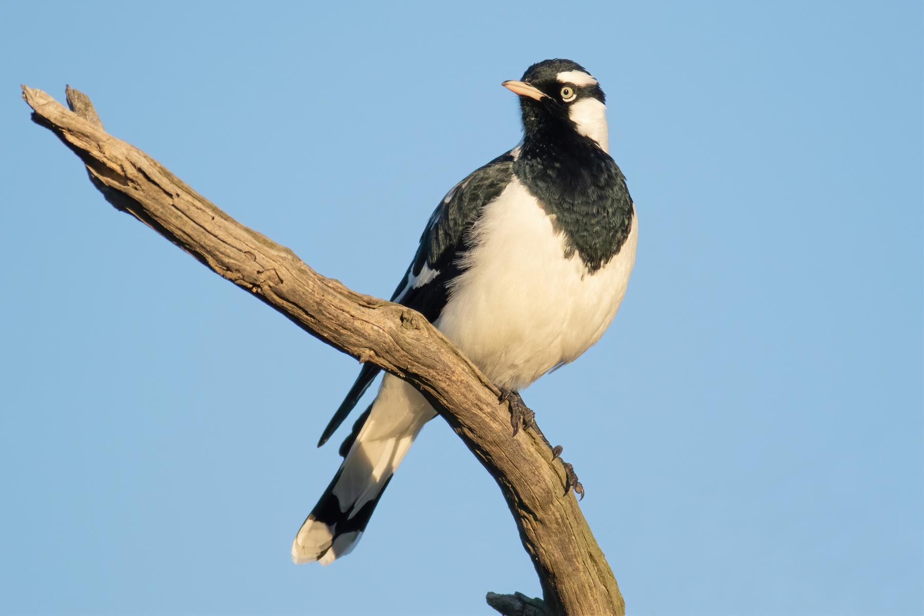 Magpie-lark (Image ID 46548)