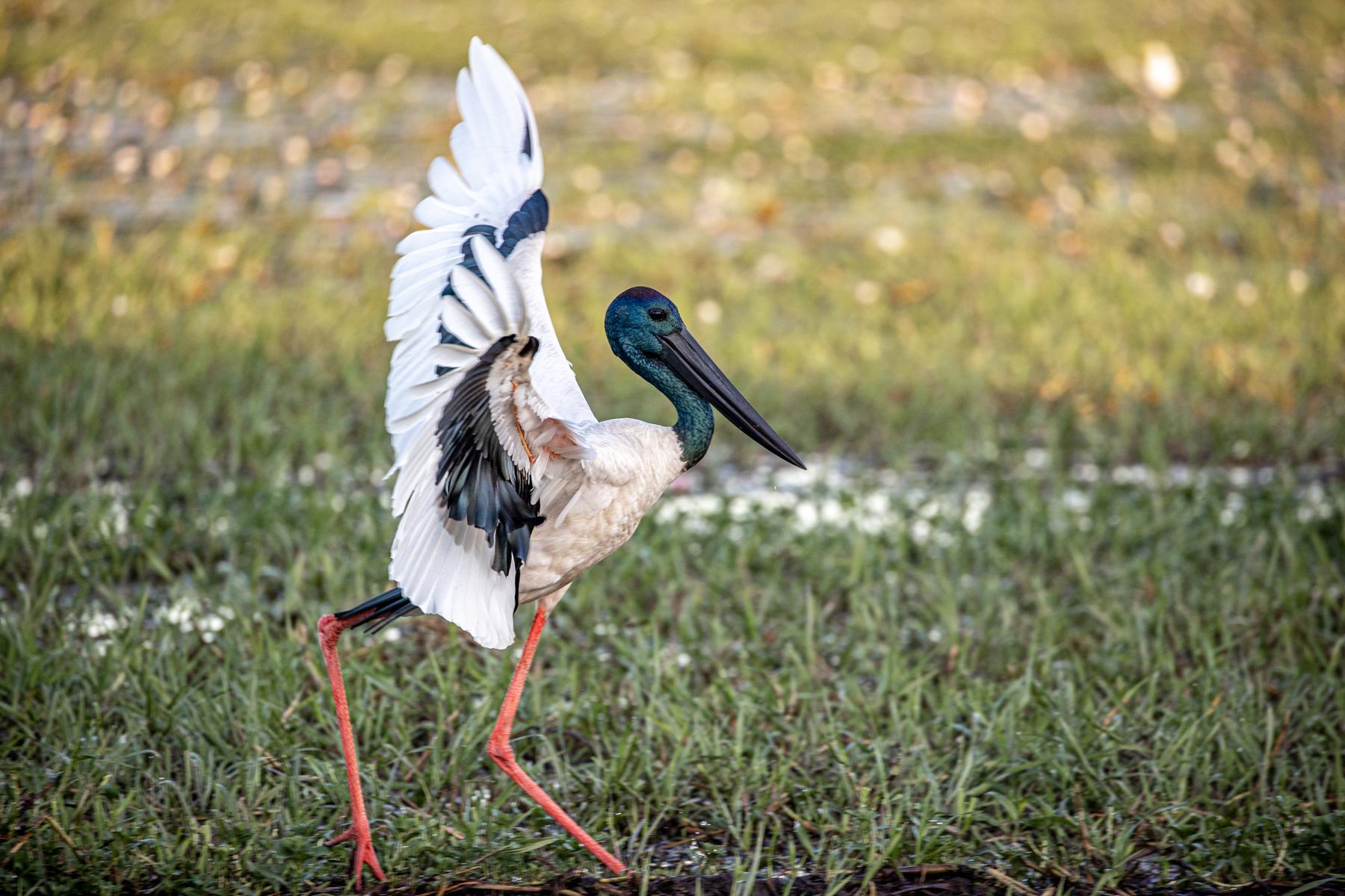 Black-necked Stork (Image ID 46682)