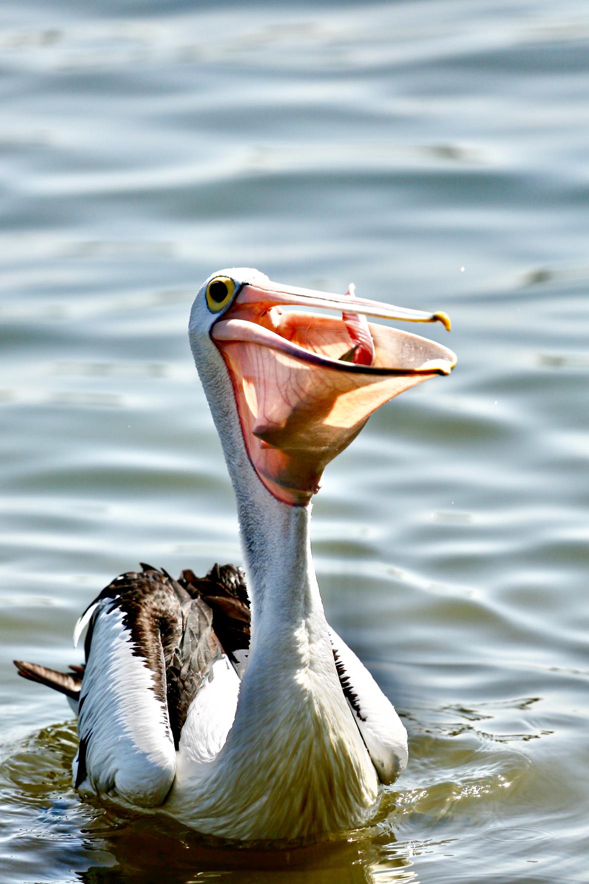 Australian Pelican (Image ID 46654)